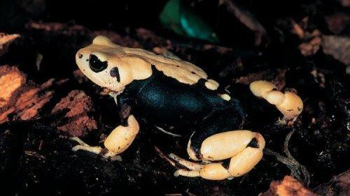 Самые удивительные лягушки на планете