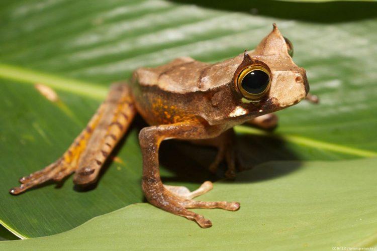 В Эквадоре воскресла рогатая лягушка. МУзей ЛЯгушек и Жаб