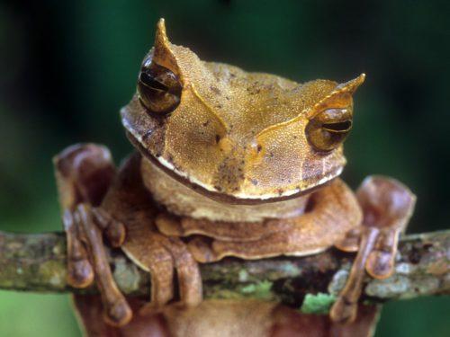 В Эквадоре воскресла рогатая лягушка